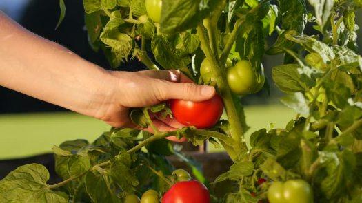 pick a tomato