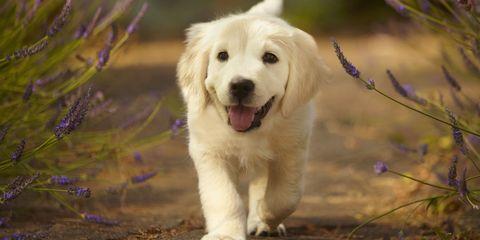 landscape-1500925839-golden-retriever-puppy
